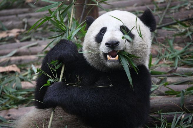 1599px-Giant_Panda_Eating